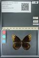 http://mczbase.mcz.harvard.edu/specimen_images/ent-lepidoptera/images/2013_07_03/IMG_143699.JPG