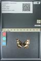 http://mczbase.mcz.harvard.edu/specimen_images/ent-lepidoptera/images/2013_07_03/IMG_143702.JPG