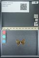 http://mczbase.mcz.harvard.edu/specimen_images/ent-lepidoptera/images/2013_07_05/IMG_143936.JPG