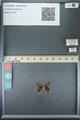 http://mczbase.mcz.harvard.edu/specimen_images/ent-lepidoptera/images/2013_07_05/IMG_143937.JPG