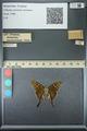 http://mczbase.mcz.harvard.edu/specimen_images/ent-lepidoptera/images/2013_07_18/IMG_145711.JPG