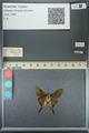 http://mczbase.mcz.harvard.edu/specimen_images/ent-lepidoptera/images/2013_07_18/IMG_145755.JPG