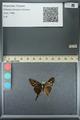 http://mczbase.mcz.harvard.edu/specimen_images/ent-lepidoptera/images/2013_07_18/IMG_145760.JPG