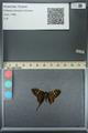 http://mczbase.mcz.harvard.edu/specimen_images/ent-lepidoptera/images/2013_07_18/IMG_145762.JPG