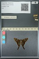 http://mczbase.mcz.harvard.edu/specimen_images/ent-lepidoptera/images/2013_07_19/IMG_145837.JPG