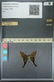 http://mczbase.mcz.harvard.edu/specimen_images/ent-lepidoptera/images/2013_07_19/IMG_145843.JPG