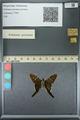 http://mczbase.mcz.harvard.edu/specimen_images/ent-lepidoptera/images/2013_07_19/IMG_145859.JPG