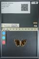 http://mczbase.mcz.harvard.edu/specimen_images/ent-lepidoptera/images/2013_08_01/IMG_147352.JPG