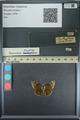 http://mczbase.mcz.harvard.edu/specimen_images/ent-lepidoptera/images/2013_08_01/IMG_147356.JPG