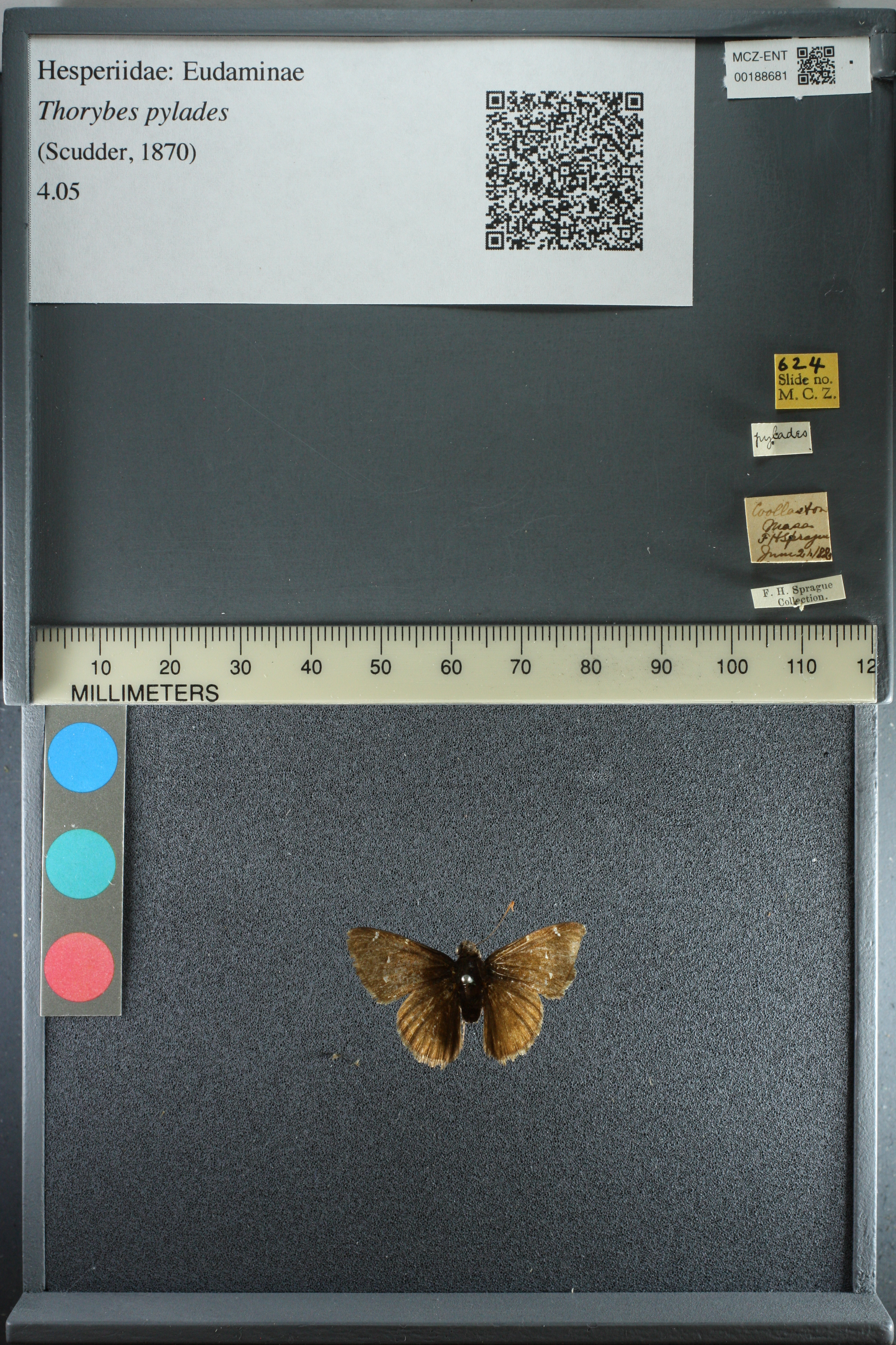 Media of type image, shows cataloged_item. MCZ:Ent:188681 Identified as Cecropterus (Thorybes) pylades.