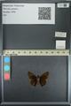 http://mczbase.mcz.harvard.edu/specimen_images/ent-lepidoptera/images/2013_08_02/IMG_147386.JPG