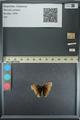 http://mczbase.mcz.harvard.edu/specimen_images/ent-lepidoptera/images/2013_08_02/IMG_147494.JPG