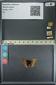 http://mczbase.mcz.harvard.edu/specimen_images/ent-lepidoptera/images/2013_08_02/IMG_147495.JPG