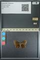 http://mczbase.mcz.harvard.edu/specimen_images/ent-lepidoptera/images/2013_08_02/IMG_147511.JPG