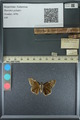 http://mczbase.mcz.harvard.edu/specimen_images/ent-lepidoptera/images/2013_08_03/IMG_147528.JPG