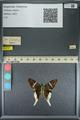 http://mczbase.mcz.harvard.edu/specimen_images/ent-lepidoptera/images/2013_08_08/IMG_148008.JPG