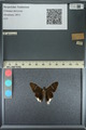 http://mczbase.mcz.harvard.edu/specimen_images/ent-lepidoptera/images/2013_08_08/IMG_148041.JPG