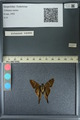 http://mczbase.mcz.harvard.edu/specimen_images/ent-lepidoptera/images/2013_08_10/IMG_148097.JPG