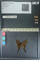 http://mczbase.mcz.harvard.edu/specimen_images/ent-lepidoptera/images/2013_08_10/IMG_148103.JPG