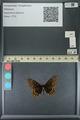 http://mczbase.mcz.harvard.edu/specimen_images/ent-lepidoptera/images/2013_11_19/IMG_151891.JPG