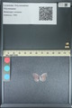http://mczbase.mcz.harvard.edu/specimen_images/ent-lepidoptera/images/2013_11_30/IMG_152233.JPG