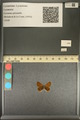 http://mczbase.mcz.harvard.edu/specimen_images/ent-lepidoptera/images/2013_12_04/IMG_152468.JPG