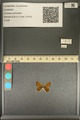 http://mczbase.mcz.harvard.edu/specimen_images/ent-lepidoptera/images/2013_12_04/IMG_152473.JPG