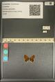 http://mczbase.mcz.harvard.edu/specimen_images/ent-lepidoptera/images/2013_12_04/IMG_152475.JPG
