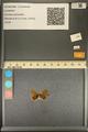 http://mczbase.mcz.harvard.edu/specimen_images/ent-lepidoptera/images/2013_12_07/IMG_152516.JPG