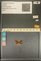 http://mczbase.mcz.harvard.edu/specimen_images/ent-lepidoptera/images/2013_12_07/IMG_152517.JPG