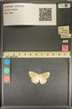 http://mczbase.mcz.harvard.edu/specimen_images/ent-lepidoptera/images/2013_12_10/IMG_152633.JPG