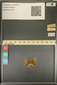 http://mczbase.mcz.harvard.edu/specimen_images/ent-lepidoptera/images/2013_12_16/IMG_152776.JPG