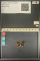 http://mczbase.mcz.harvard.edu/specimen_images/ent-lepidoptera/images/2013_12_17/IMG_152791.JPG