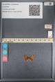 http://mczbase.mcz.harvard.edu/specimen_images/ent-lepidoptera/images/2014_01_09/IMG_153014.JPG