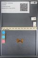 http://mczbase.mcz.harvard.edu/specimen_images/ent-lepidoptera/images/2014_01_09/IMG_153015.JPG