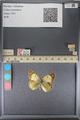 http://mczbase.mcz.harvard.edu/specimen_images/ent-lepidoptera/images/2014_01_16/IMG_153926.JPG
