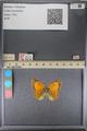 http://mczbase.mcz.harvard.edu/specimen_images/ent-lepidoptera/images/2014_01_16/IMG_153928.JPG