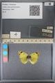 http://mczbase.mcz.harvard.edu/specimen_images/ent-lepidoptera/images/2014_01_16/IMG_153995.JPG