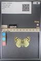 http://mczbase.mcz.harvard.edu/specimen_images/ent-lepidoptera/images/2014_01_16/IMG_154004.JPG