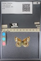 http://mczbase.mcz.harvard.edu/specimen_images/ent-lepidoptera/images/2014_01_16/IMG_154012.JPG