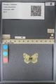 http://mczbase.mcz.harvard.edu/specimen_images/ent-lepidoptera/images/2014_01_16/IMG_154019.JPG