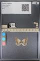 http://mczbase.mcz.harvard.edu/specimen_images/ent-lepidoptera/images/2014_01_16/IMG_154030.JPG