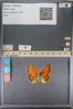 http://mczbase.mcz.harvard.edu/specimen_images/ent-lepidoptera/images/2014_01_16/IMG_154043.JPG