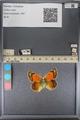 http://mczbase.mcz.harvard.edu/specimen_images/ent-lepidoptera/images/2014_01_16/IMG_154044.JPG