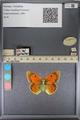 http://mczbase.mcz.harvard.edu/specimen_images/ent-lepidoptera/images/2014_01_16/IMG_154048.JPG