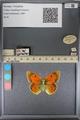 http://mczbase.mcz.harvard.edu/specimen_images/ent-lepidoptera/images/2014_01_16/IMG_154049.JPG