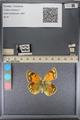http://mczbase.mcz.harvard.edu/specimen_images/ent-lepidoptera/images/2014_01_16/IMG_154050.JPG