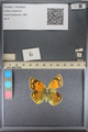 http://mczbase.mcz.harvard.edu/specimen_images/ent-lepidoptera/images/2014_01_16/IMG_154051.JPG