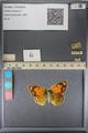 http://mczbase.mcz.harvard.edu/specimen_images/ent-lepidoptera/images/2014_01_16/IMG_154053.JPG