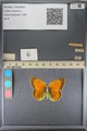 http://mczbase.mcz.harvard.edu/specimen_images/ent-lepidoptera/images/2014_01_16/IMG_154057.JPG